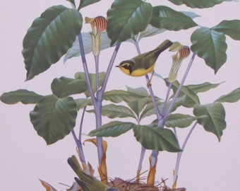 Menaboni's Birds/KENTUCKY WARBLER/1950s Book Page/Bookplate/Unframed Print