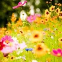 blossomcheeks