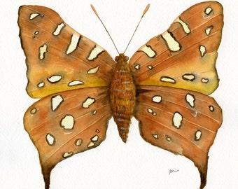 Paraphnaeus, Hutchinson's Highflier, original watercolor