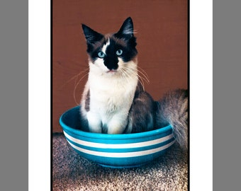 Ragdoll Cat Card Photo in the Blue and White Bowl