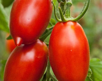 Organic Amish Paste Tomato Seeds