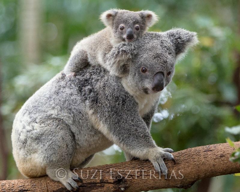 Baby koala and mom photo koala bear safari baby nursery - Pics of baby koalas ...