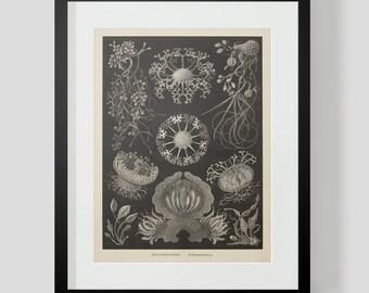 Vintage Ocean Life Haeckel Print Plate 73