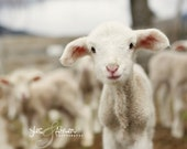 thinking of you - baby lamb photography - farm fresh cards/photography