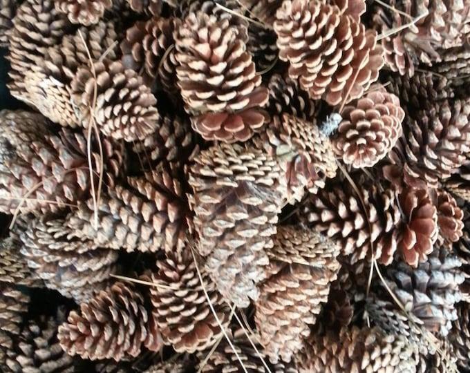 Bulk Georgia pine cones, large pine cones,medium pine cones, small pine cones.  Holiday crafts, nature supplies