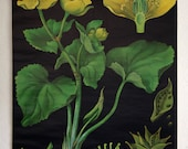 pulldown canvas Marsh marigold print poster chart wall hanging amazing german original