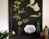 pulldown canvas Pea pod print poster chart wall hanging amazing german original