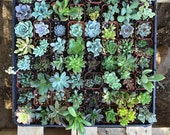 """5 Assorted potted Succulent Collection 2"""" plastic pots succulents great for wedding gifts & FAVORS+"""