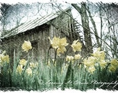 rustic barn with daffodils, spring nature photo, yellow flowers, rural country scene