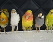 taxidermy of birds, parrots, parakeets, 5 birds/ set, free shipping to everywhere.