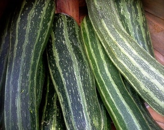 Striped Zucchini Cocozelle Delicious Nutty Flavor Rare Heirloom Seeds Costata Romanesco