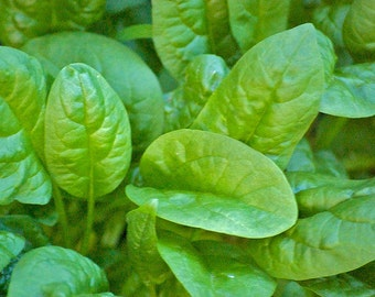 Butterflay Spinach Vigorous Plants Rich Flavor Cold Hardy Slow Bolt Rare OP Variety Seed