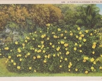 Alamanda, Florida - Vintage Postcard - Postcard - Unused (VV)
