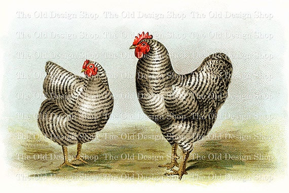 BARRED PLYMOUTH ROCKS Biggle Poultry Digital Image for Cardmaking Scrapbooking Altered Art Mixed Media