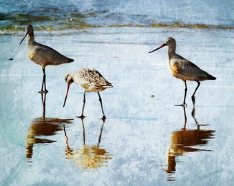 Family of Marbled Gotwit Birds Eating Breakfast Fine Art Photographic Print in Various Sizes