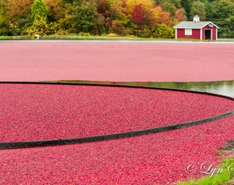 Cranberry Bog - Nature photography, landscape photography, fall, autumn, fine art print, cranberries, leaves, new enlgand