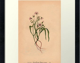 Spring Beauty-Wild Flower-Downloadable Vintage  Art Print