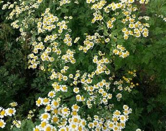 Feverfew Seeds - Tanacetum parthenium -- Medicinal Herb