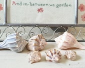 6  Perfect Baby Whelk Sea Shells from Florida (693)