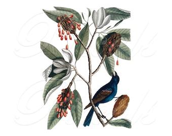 BIRD and MAGNOLIA, antique illustration, Instant Download, natural history illustration no.363
