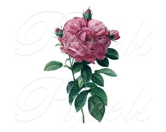 ROSE of Redoute, Instant Download, wedding images, pink roses, pink rose, rosa gallica, Digital Downloads pink flowers clipart 415