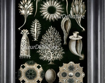 Coral Print Ernst Haeckel 8X10 Art 43 Antique Beautiful Corals Sea Ocean Nature Science Illustration Picture Plate Home Decor to Frame