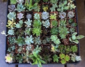 "15 Assorted Succulent Collection in 2""plastic pots succulents great for wedding gifts & FAVORS+"