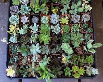 "120 Assorted Succulent Collection in 2""plastic pots succulents great for wedding gifts & FAVORS+"
