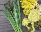 Weld Seed Reseda luteola Natural Dye Plant Seeds 2016 Dyer's Rocket
