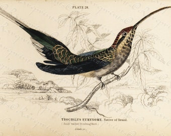 Original Antique  Hand Colored Natural History Prints-  Humming bird - Trochilus Eurynome - Native of Brazil