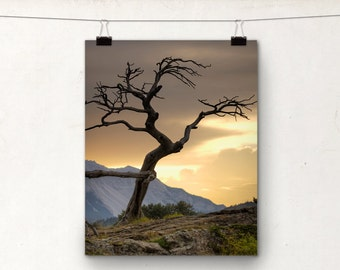 Burmis Tree, Crowsnest Pass Alberta, Dead, Twisted Branches, Mountains