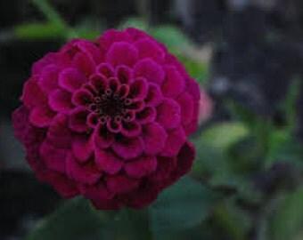 Zinnia, Violet Queen seeds, Organic