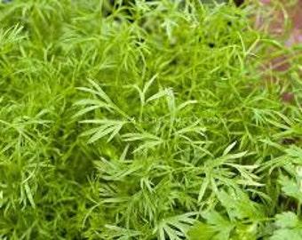 Confetti Coriander, Rare Heirloom seeds