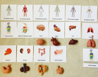 Montessori Human Anatomy Human Organs 5 Parts Cards with Miniatures