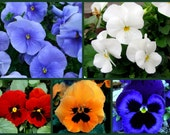 Pretty Pansies Collection - 5 Pk Special - Bulk Pansy Seeds, Heirloom Pansies, Mixed Pansy Seeds, Heirloom Viola Seeds, Non-gmo Pansy Seeds