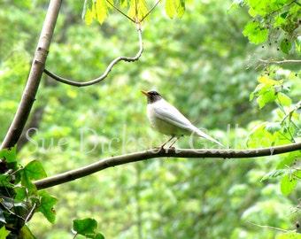 Rare White Robin Fine Art Photography