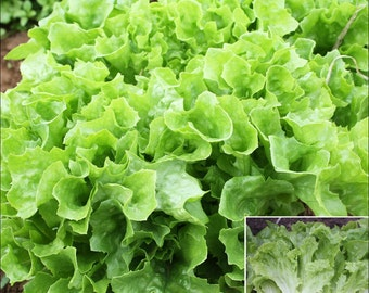 Organic Non-GMO Black Seeded Simpson Green Leaf Lettuce - Open-Pollinated