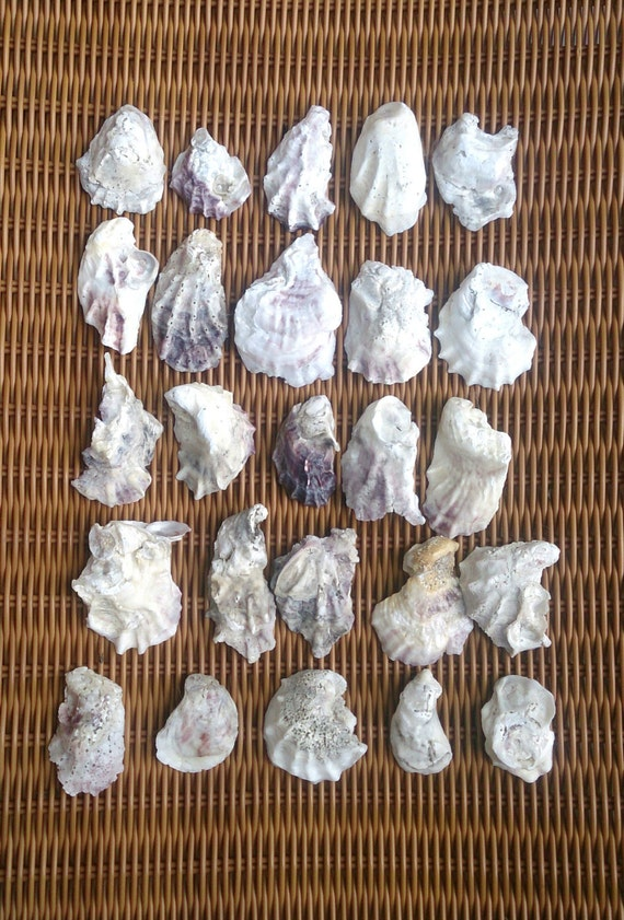 Bulk Oyster Shells 25 Bulk Oyster