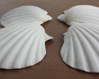 White Shells, Beach Decor, Seashells, Shells, Craft Shells, White Shells, Great Scallop Shells