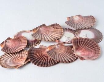 "Mexican Flat Sea Shell Beach Craft Scallop 2"" - 3"" ( 10 PCS )"
