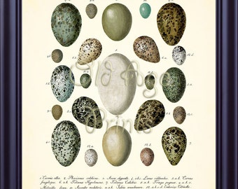 Antique Bird Nest EGGS Egg Print 8x10 Vintage Botanical Art Print Plate 8 Natural History Illustration Home Room Wall Art Decor BN0404