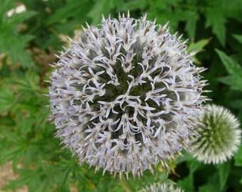 Flower: Globe Thistle (perennial)