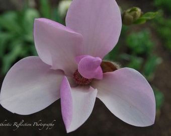 Limited Edition Color/Springtime Beauty Unfurled 8x12 Print