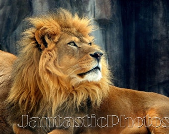 Lion Regal Pose photograph male African king of beasts. Instant download photo royal feline Leo big cat golden mane photography wildlife art