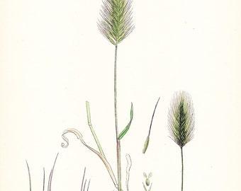 1902 British Botany Print - Sea Barley - Vintage Antique Sowerby Art Illustration Book Plate Landscaping Farming 100 Years Old