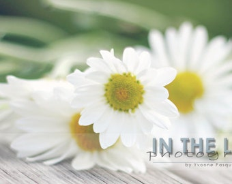 Daisies - Fine Art Photograpy - 12x6 panoramic, other sizes available - fPOE
