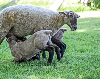 Twins - Lambs - Sheep - Baby Animals - Twin Lambs - Farm Animals - Farm - Animal Photography - Fine Art Photography