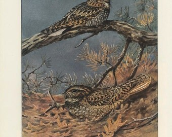 Eastern Whippoorwill, Chuck-will's Widow, Vintage Bird Print, Brooks Ornithology 44, 1939, Forest Cabin Decor, Country Cottage Decor