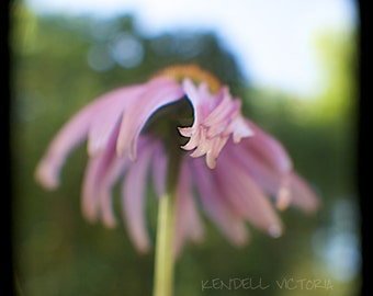 Echinacea Fine Art Photograph, Wall Art, Home Decor, Office Art, Nursery Art