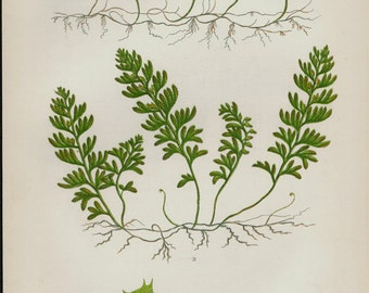 1850 Antique FERN print, chromolithograph of film fern. Original antique botanical print